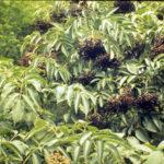 Elderberry, Common Elder, American Elder - Sambucus nigra ssp. canadensis (Sambucus canadensis) 3