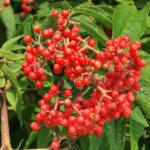 Scarlet Elder, Red-berried Elderberry, Red Elderberry - Sambucus racemosa (Sambucus pubens)