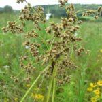 Wool Grass, Cotton Grass - Scirpus cyperinus