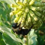 Short Green Milkweed, Green Comet Milkweed - Asclepias viridiflora