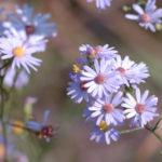 Sky Blue Aster - Symphyotrichum oolentangiense (Aster azureus)