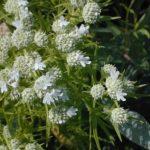 Slender Mountain Mint, Narrowleaf Mountainmint - Pycnanthemum tenuifolium