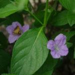 Smooth Ruellia, Limestone Wild Petunia - Ruellia strepens 2