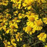 Sneezeweed - Helenium autumnale 2