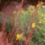 Indian Grass - Sorghastrum nutans