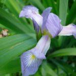 Southern Blue Flag Iris - Iris virginica