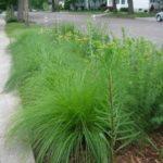 Prairie Dropseed Sporobolus heterolepis 2