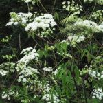 Spotted Water Hemlock - Cicuta maculata