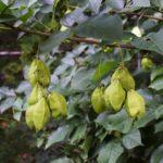 American Bladdernut - Staphylea trifolia 4