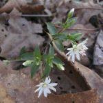 Star Chickweed - Stellaria pubera 3