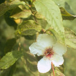 Mountain Camellia, Mountain Stewartia - Stewartia ovata