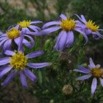 Stiff-leaved Aster - Ionactis linariifolius (Aster linariifolius)