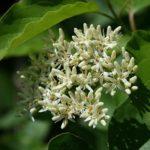 Stiff Dogwood, Swamp Dogwood, English Dogwood, Stiff Cornel - Cornus foemina (Cornus stricta)