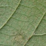 Summer Grape - Vitis aestivalis