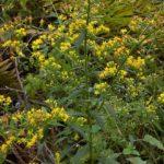 Swamp Goldenrod, Roundleaf Goldenrod - Solidago patula