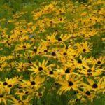 Sweet Black-eyed Susan, Sweet Coneflower - Rudbeckia subtomentosa 3