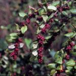 Coralberry, Indian Currant - Symphoricarpos orbiculatus