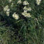 Wavyleaf Aster - Symphyotrichum undulatum (Aster undulates)