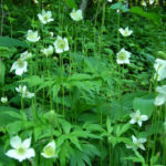 Tall Thimbleweed - Anemone virginiana