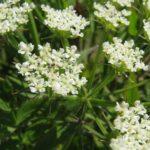 Tall Water Parsnip, Hemlock Waterparsnip - Sium suave 2