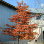 Bald Cypress, Baldcypress - Taxodium distichum 3