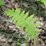 New York Fern, Tapering Fern - Thelypteris noveboracensis 4