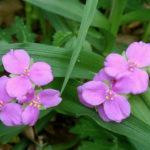 Spiderwort - Tradescantia virginiana