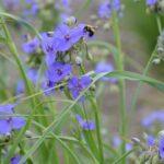 Ohio Spiderwort, Bluejacket - Tradescantia ohiensis 3