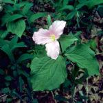 Catesby's Trillium, Nodding Rose Trillium, Bashful Wakerobin - Trillium catesbaei