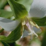Drooping White Trillium, Bent Trillium, Wood Lily - Trillium flexipes