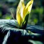 Yellow Trillium, Wood Lily - Trillium luteum