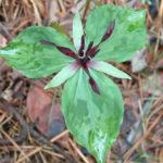 Twisted Petal Trillium, Blue Ridge Wakerobin - Trillium stamineum