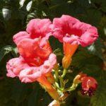 Trumpet Creeper, Trumpet Vine - Campsis radicans (Bignonia radicans)
