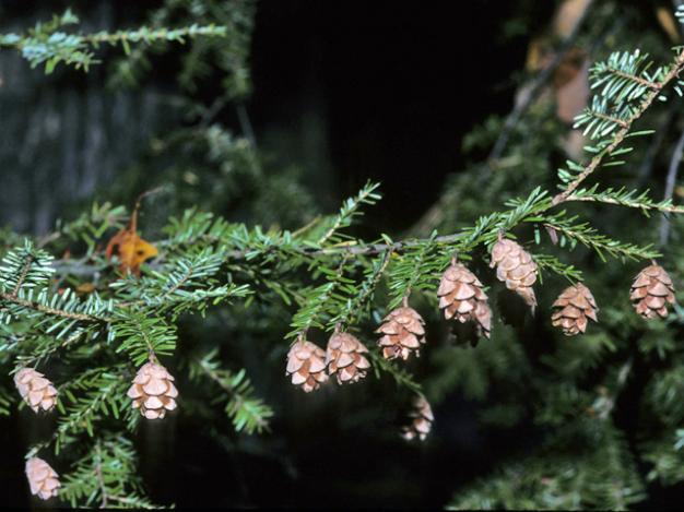 Eastern Hemlock, Canada Hemlock - Tsuga canadensis 2
