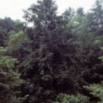 Eastern Hemlock, Canada Hemlock - Tsuga canadensis 3