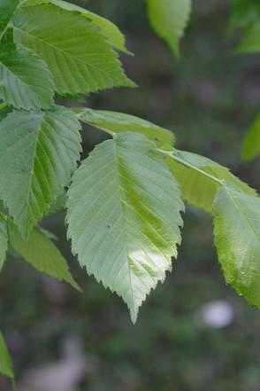 American Elm, White Elm - Ulmus americana