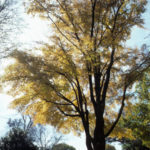 American Elm, White Elm - Ulmus americana 5