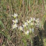 Upland White Aster, Prairie Flat-top Goldenrod - Oligoneuron album (Aster ptarmicoides)