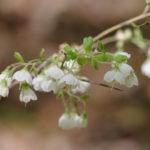 Deerberry - Vaccinium stamineum 2