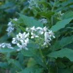 Frost Weed, Iceplant, Winged Stem, White Crownbeard, Iceweed, Richweed, Squawweed - Verbesina virginica 2