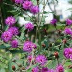 Upland Ironweed, Broadleaf Ironweed - Vernonia glauca