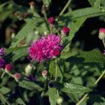 Missouri Ironweed - Vernonia missurica 3