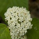 Mapleleaf Viburnum - Viburnum acerifolium 2