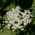 Arrowwood, Southern Arrowwood - Viburnum dentatum