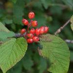 Hobblebush Viburnum - Viburnum lantanoides (Viburnum alnifolium) 2