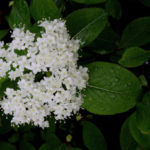 Northern Witherod, Withe-rod - Viburnum nudum var. cassinoides (Viburnum cassinoides)