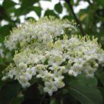 Black Haw, Blackhaw Viburnum - Viburnum prunifolium