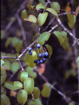Rusty Blackhaw Viburnum, Southern Blackhaw, Downy Viburnum - Viburnum rufidulum 4