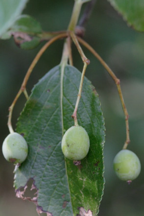 Rusty Blackhaw Viburnum, Southern Blackhaw, Downy Viburnum - Viburnum rufidulum 2