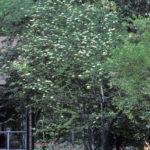 Rusty Blackhaw Viburnum, Southern Blackhaw, Downy Viburnum - Viburnum rufidulum 6